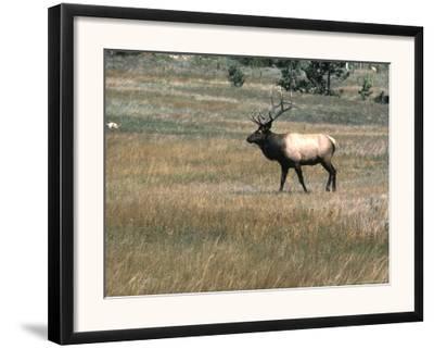 An Elk in the Grassland in Colorado