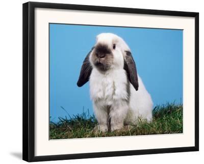 Lop-Eared Dwarf Rabbit