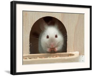 White Mouse in Hutch