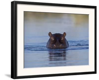 Hippopotamus Submerged in Water, Moremi Wildlife Reserve Bostwana Africa