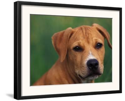 Pit Bull Terrier Puppy Portrait