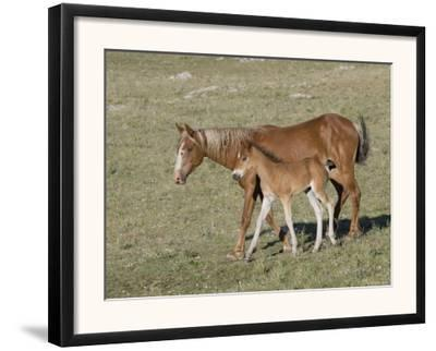 Sorrel Mare with Chestnut Filly, Pryor Mountains, Montana, USA