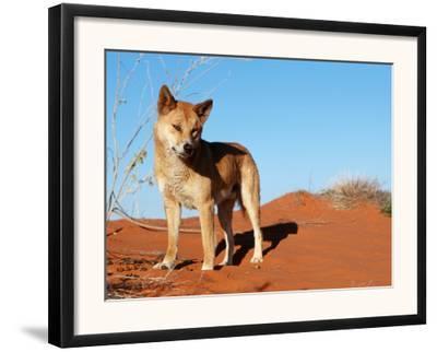 Dingo on Sand Dunes, Northern Territory, Australia