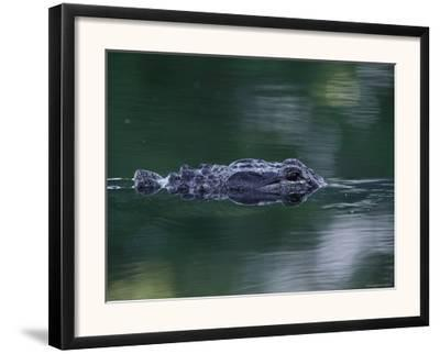 American Alligator Submerged, Sanibel Is, Florida, USA