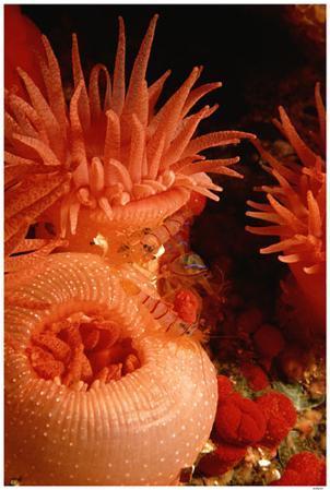 Candy-Cane Shrimp