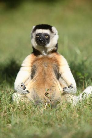 Lemur in Meditative Position