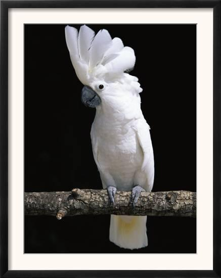 white or umbrella cockatoo posters by lynn m stone at allposters com