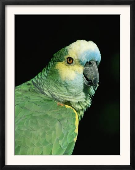 Blue Fronted Amazon Parrot Print By Lynn M Stone At Allposters Com