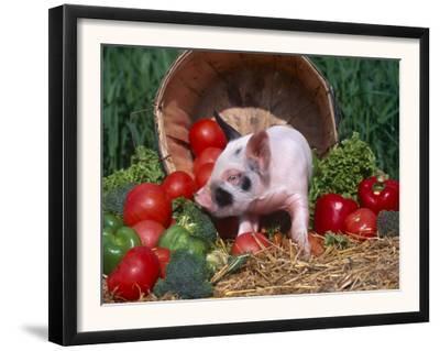 Domestic Piglet, Amongst Vegetables, USA