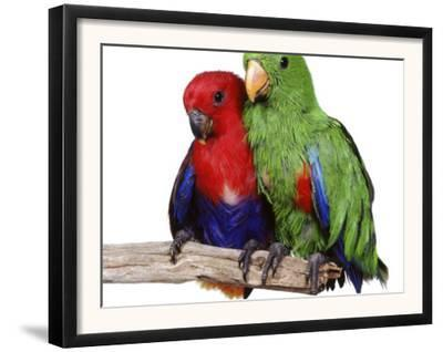 Young Eclectus Parrots, Female Left, Male Right, 12-Wks-Old