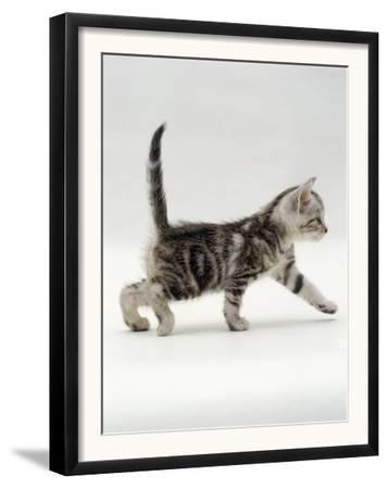 Domestic Cat, 3-Week, Silver Tabby Male Kitten