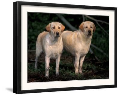 Domestic Dogs, Two Labrador Retrievers
