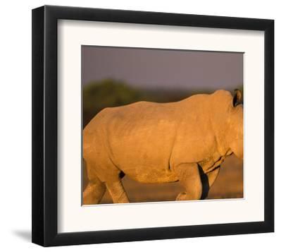White Rhinoceros Walking, Etosha National Park, Namibia