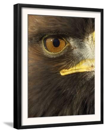 Golden Eagle (Aquila Chrysaetos) Close up of Eye, Cairngorms National Park, Scotland, UK