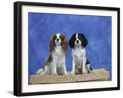 Dogs, Two Cavalier King Charles Spaniels on Basket