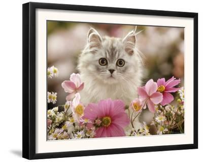 Domestic Cat, Silvertabby Kitten Among Michaelmas Dasies, Japanese Anemones and Cosmos Dasies