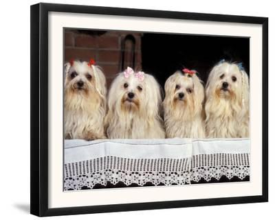 Domestic Dogs, Four Maltese Dogs Sitting in a Row, All with Bows in Their Hair