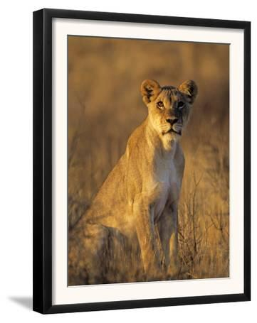 Lioness at Sunrise (Panthera Leo) Kalahari Gemsbok National Park South Africa