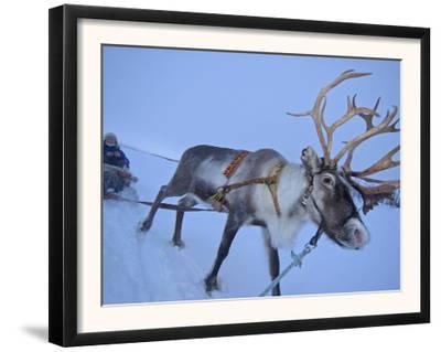 Reindeer Pulling Sledge, Stora Sjofallet National Park, Lapland, Sweden
