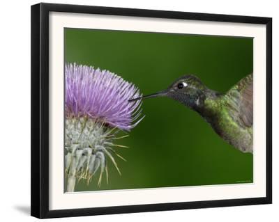 Magnificent Hummingbird, Adult Feeding on Garden Flowers, USA