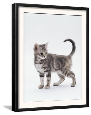 Domestic Cat (Felis Catus) 12-Week-Old Kitten