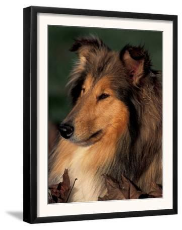 Rough Collie Portrait