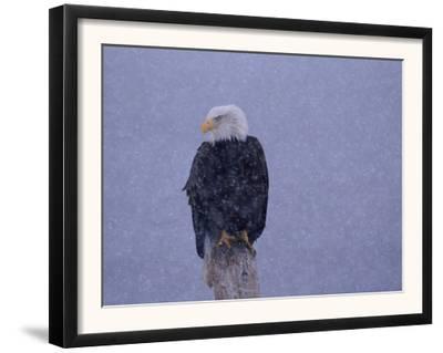 American Bald Eagle in Snow, Alaska