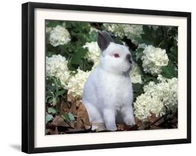 Netherland Dwarf Domestic Rabbit