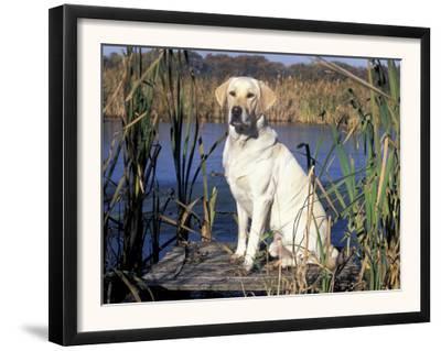 Golden Labrador Retriever Dog Portrait, Sitting by Water