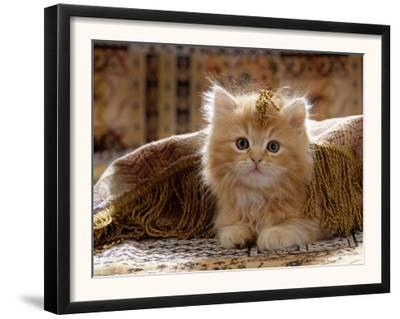 Domestic Cat, 8-Week, Portrait of Red Persian-Cross Male Kitten, Playing Under Fringed Cover