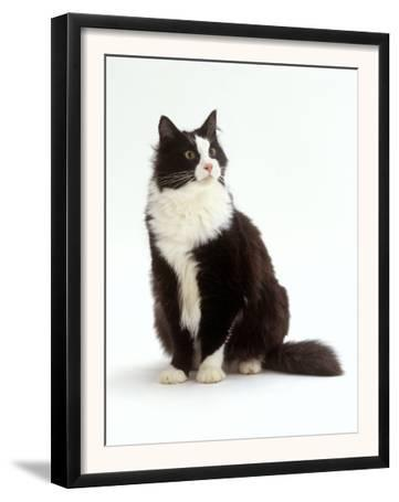Domestic Cat, Black and White Male