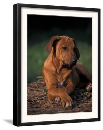 Rhodesian Ridgeback Puppy with Front Paws Crossed