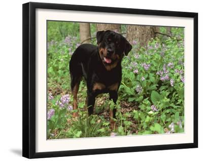 Rottweiler Dog in Woodland, USA