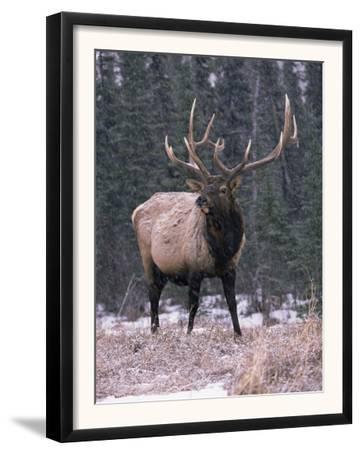Elk Deer Stag in Snow, Jasper National Park, Canada