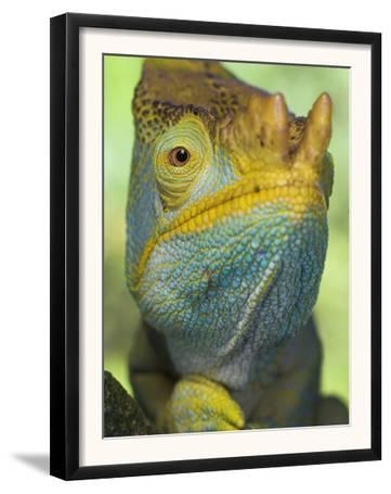 Portrait of Male Parson's Chameleon, Ranomafana National Park, South Eastern Madagascar
