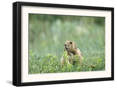 Prairie Dog in Theodore Roosevelt National Park, North Dakota