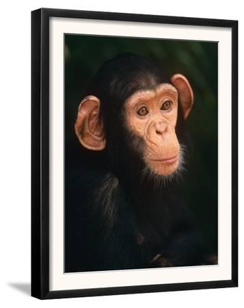 Baby Chimpanzee Portrait, from Central Africa