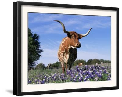 Texas Longhorn Cow, in Lupin Meadow, Texas, USA