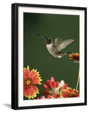Ruby Throated Hummingbird, Male Flying, Texas, USA