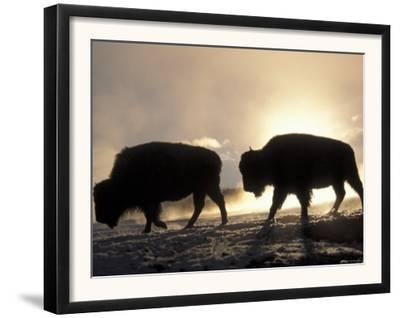 Two Bison Silhouetted Against Rising Sun, Yellowstone National Park, Wyoming, USA