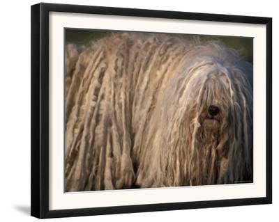 Puli / Hungarian Water Dog Portrait