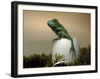 Baby Iguana Placed in a Goose Egg, (Iguana Iguana)