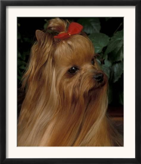 Yorkshire Terrier With Hair Tied Up And Long Hair Prints By Adriano