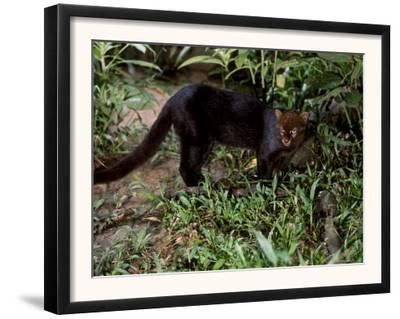 Jaguarundi, Ecuadorian Amazon Ecuador