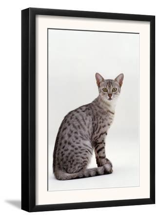 Domestic Cat, Female Silver Egyptian Mau