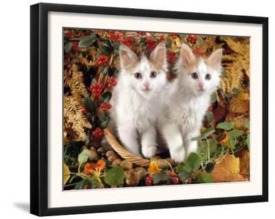 Domestic Cat, 9-Week, White-And-Tortoiseshell Sisters and in a Basket with Hazelnuts