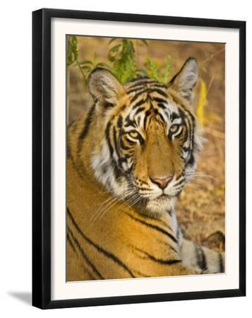 Bengal Tiger Resting Portrait, Ranthambhore Np, Rajasthan, India