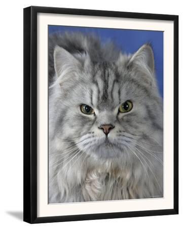 Head of Persian Cat