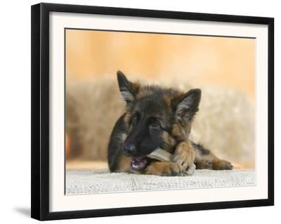 Domestic Dog, German Shepherd Alsatian Juvenile. 5 Months Old, Chewing on Rawhide Bone