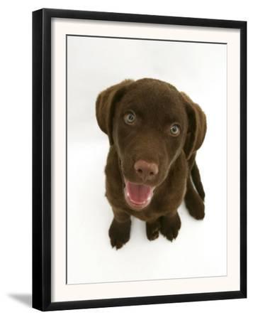 Chesapeake Bay Retriever Dog Pup, 'Teague', 9 Weeks Old Looking Up